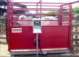 bascula-vacas